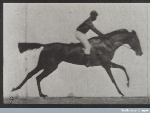 Detail from a Muybridge study of a horse and its rider. © Wellcome Library, London.